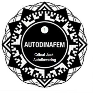 critical-jack-autoflowering