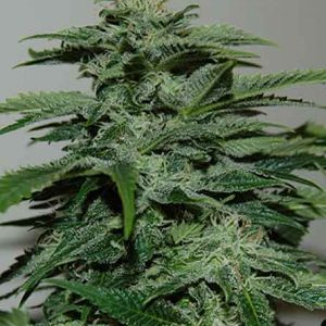 pyramid_seeds_-_northern_lights