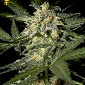 white-widow-auto-green-house-seeds