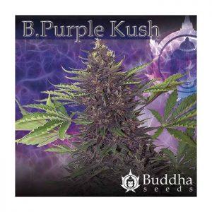 buddha-purple-kush
