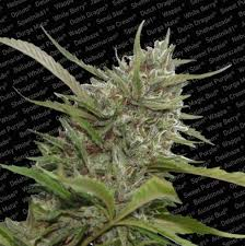 auto white berry