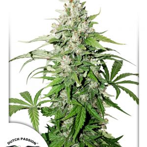 Auto-Cinderella-Jack-Dutch-Passion