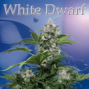 white-dwarf-reg-buddha-seeds-en-tienda-de-semillas-de-marihuana (1)