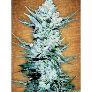 tangie-matic-fast-buds-seeds