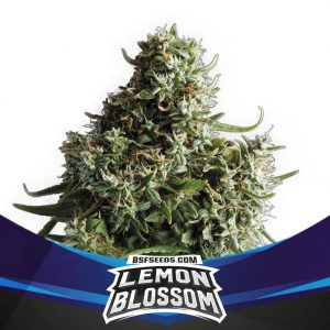 Lemon-Bloosom-BSF